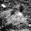 Snail on cougar poop